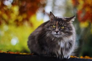 autumn cat by Pearx3