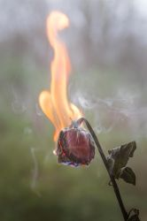The Death of a Rose by LashelleValentine