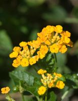 Gold Lantana Camara No. 1 by slephoto