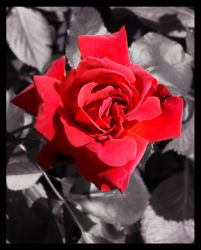 Rosey by Chum162