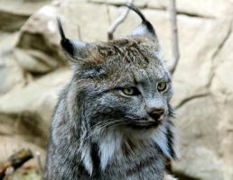 Lynx canadensis by FlavoredWaters