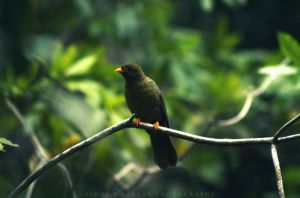 Bellbird by Darth-Marlan