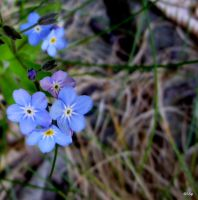 Forget-me-not by Lionpelt-66