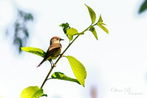 Female Blackcap by OliverBPhotography
