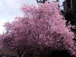 Cherry Blossom watercolor 3 by infin8yquest