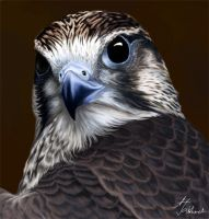 Falcon by jakhont