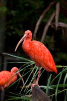 Scarlet Ibis by geostant