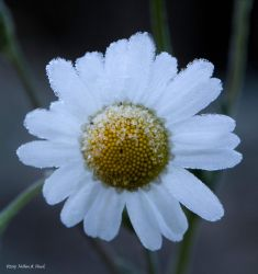 Frosty Flower-C32-9710-2 by abstractcamera