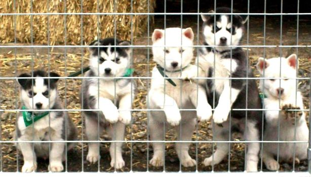 husky puppies by summerlover13124