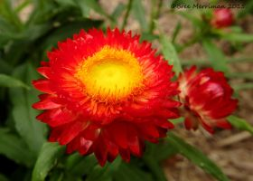 Straw Flower by BreeSpawn