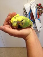My baby budgies by HeavyMetal747