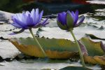 Water lily No. 2 by Amaries-stock