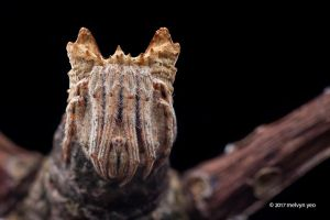 Tree stump orb weaver (Poltys sp.) by melvynyeo