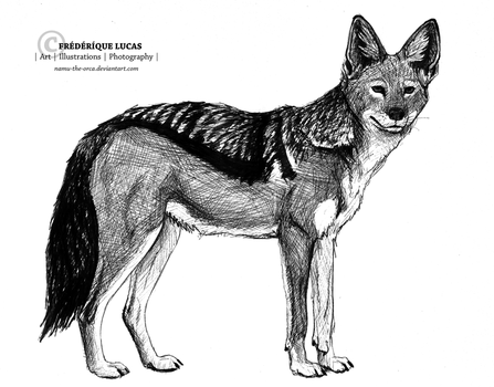 Black-backed jackal sketch by namu-the-orca
