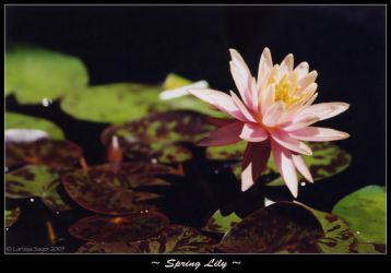 Spring Lily by rissdemeanour