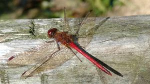 Red Dragonfly by MagentaMachina