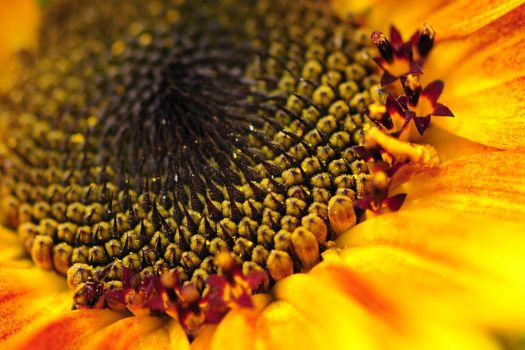 sunflower closeup by Wilithin