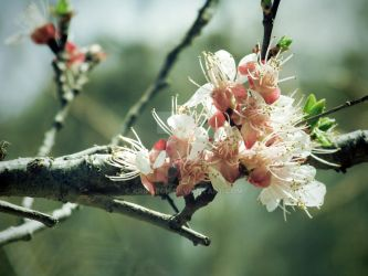 apricot flower 2 by kriptech