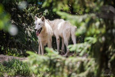 Artic Wolves by vetchyKocour
