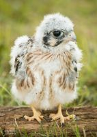 Baby American Kestrel by EdgedFeather