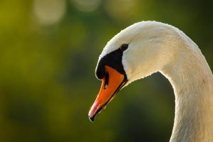 Portrait of a swan by AlesGola