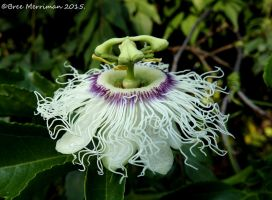 Passion-fruit Flower by BreeSpawn
