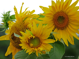 Sunflower family picture by Mogrianne