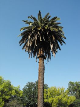 California Palm Tree by Photos-By-Michelle