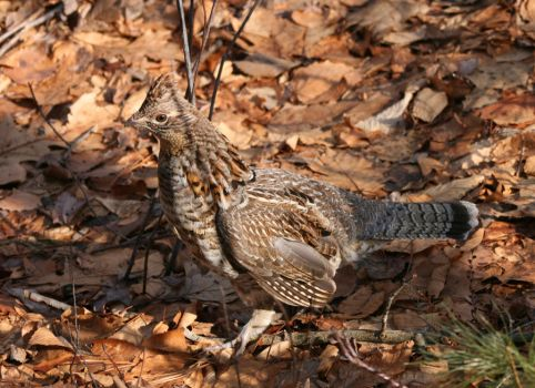 Ruffed Grouse Profile by natureguy