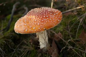 Fungi - Red with white dots 2 by steppelandstock