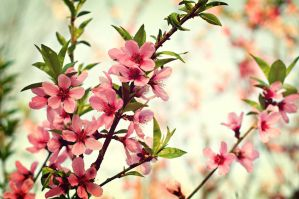 Apricot in bloom by sunny2011bj