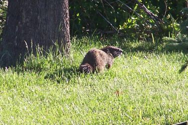 Our groundhog visitor. by fanfictionaxis