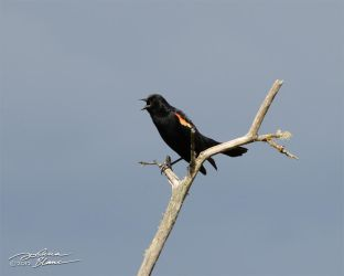 Red winged blackbird calling by themanitou