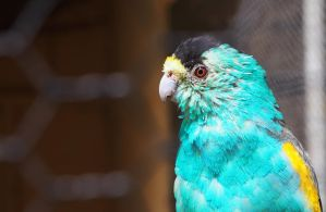Holden Shouldered Parrot by Bueshang