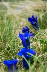 Gentian by ASimagined