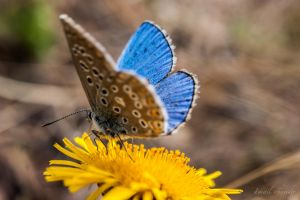 Resting Common Blue by isischneider