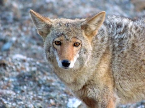Coyote in Death Valley by Geotripper