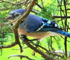 Blue jay 001 by Elluka-brendmer