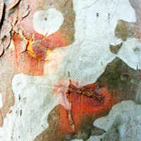 Mottled Gum Tree Trunk by LilipilySpirit