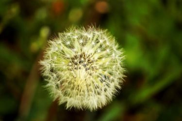 blowball of dandelion by LoveForDetails