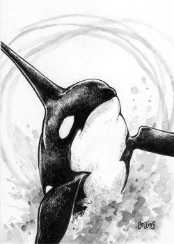 Orca by bryancollins