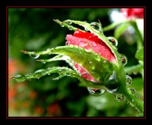Red Rose Bud.... by Pjharps