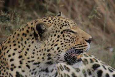 Leopard Namibia by DoWnHIller