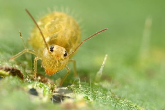 globular springtail at 5X -2 by macrojunkie