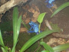Poison Dart Frog by Picolini