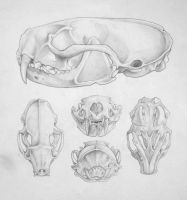 Mink Skull Angles Study by Alkahla