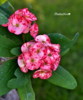 Crown of thorns flowers by gigi50