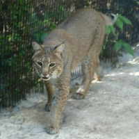 Wildlife Sanctuary Bobcat 1 by FantasyStock