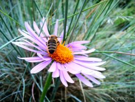 Spring Flower + Bee 2012 - 60 by Ingnition