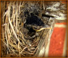 Tiny Red Robin in Nest by Sugaree-33